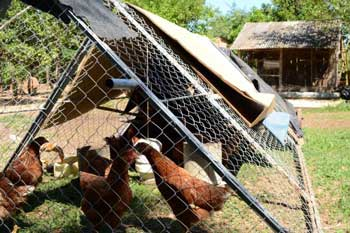 Analia Melo's initiative allowed each women purchased 50 chicks, that would soon become egg-producing hens, funded by GPF for Seed Grant for Social Entrepreneur Contest.