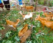 Goat Farming for Global Peace Development Philippines.